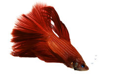 Red Siamese Fighting Fish Royalty Free Stock Photo