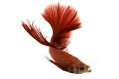 Red Siamese fighting fish Royalty Free Stock Images