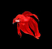 Red siamese fighting fish, betta fish isolated on black backgrou Stock Images