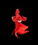 Red siamese fighting fish, betta fish isolated on black backgrou Royalty Free Stock Images