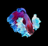 Red siamese fighting fish, betta fish isolated on black background. . Red and blue siamese fighting fish, betta fish isolated on black background stock images