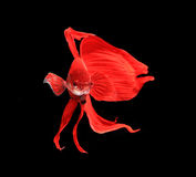 Red siamese fighting fish, betta fish isolated on black background.  royalty free stock photos