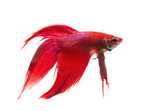 Red Siamese fighting fish