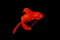 Red Siamese fighting fish (Betta splendens) isolated on black ba. Ckground royalty free stock photo