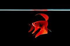Red Siamese fighting fish (Betta splendens) isolated on black ba. Ckground stock photos