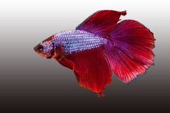 Red siamese fighting fish Stock Images