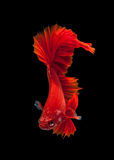 Red siamese fighting fish Stock Image