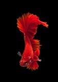 Red siamese fighting fish Stock Image