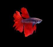 Red  siamese fighting fish halfmoon , betta fish isolated on bla Royalty Free Stock Photo