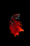 Red siamese fighting fish isolated on black background. Betta fi Royalty Free Stock Photos