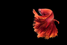 Red siamese fighting fish isolated on black. Red siamese fighting fish, betta splendens isolated on black background Royalty Free Stock Photo
