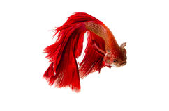 Red Siamese Fighting Fish isolated on white. Stock Image