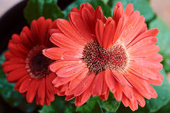 Red Siamese Gerbera Daisy Stock Images