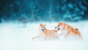 Red siba dog runs on the slope. Sunny winter snow-covered forest with warm evening light royalty free stock photos
