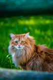 Red siberian cat on green gras Royalty Free Stock Photo