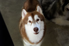 Red siberian husky 2 Royalty Free Stock Image