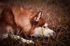 Red siberian husky dog lays in spring meadow Stock Images