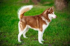 Red Siberian Husky on a field Royalty Free Stock Images