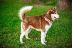 Red Siberian Husky on a field Stock Photo