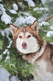 Red Siberian husky about snow -covered trees royalty free stock photography