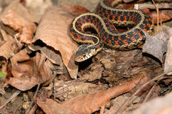 Red Sided Garter Snake Stock Images