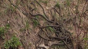 Red sided garter snakes mating stock footage