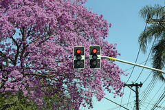 Red sign in traffic light in front of flowering pink tree royalty free stock images