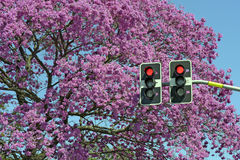 Red sign in traffic light in front of flowering pink tree Royalty Free Stock Photo