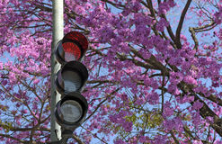 Red sign in traffic light in front of flowering pink tree Royalty Free Stock Image