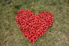 Red Silk Cotton Tree flowers in heart shape stock photography