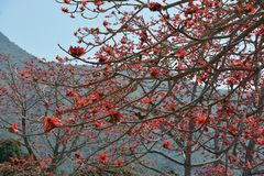 Red Silk Cotton Tree stock photography