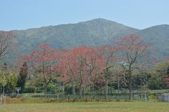 Red Silk Cotton Tree royalty free stock images