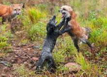 Red and Silver Fight Vulpes vulpes With Third Fox Watching. Captive animals royalty free stock image