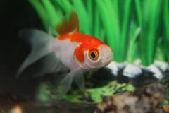 Selective focus photography Red and silver striped fish stock image