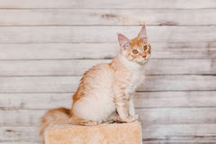 Red Silver Tabby Maine Coon Kitten Royalty Free Stock Images