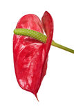 Red single anthurium flower isolated on white Royalty Free Stock Photography