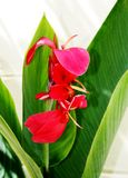 Red single flower and leaf Stock Images