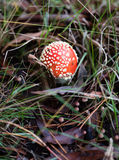 Red single mushroom Stock Image