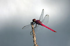 Red skimmer Stock Photography