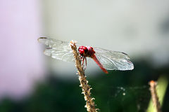 Red skimmer Royalty Free Stock Image