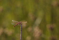 Red skimmer dragonfly, flame dragonfly Royalty Free Stock Photography