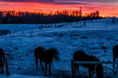 Red sky at night, sunset, Cowboy Trail, Alberta, Canada. Hoses graze in a field beneath the glowing red sky Stock Photos