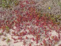 The red slender leaved iceplant Royalty Free Stock Images