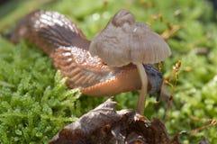 Red slug. With a mushroom meal Stock Images