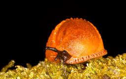 Red slug Royalty Free Stock Photos