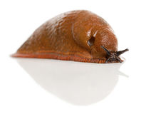 Red slug, Arion rufus Royalty Free Stock Image