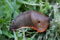 Red Slug - Arion rufus Royalty Free Stock Images