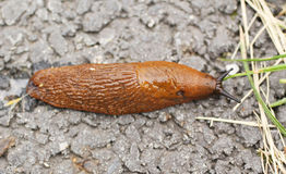 Red slug Royalty Free Stock Photo