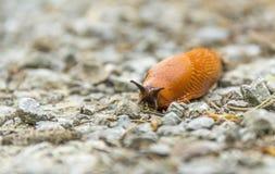 Red slug Royalty Free Stock Photography