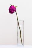 Red sluggish rose Stock Photo